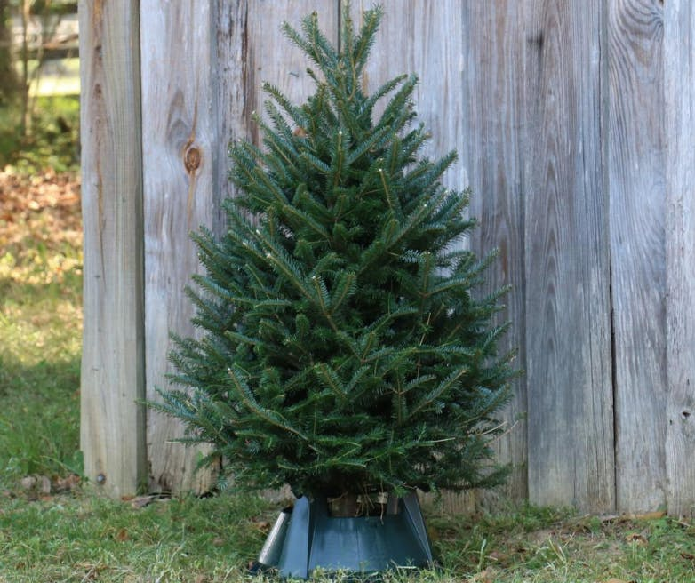 Free Shipping On Live Christmas Trees At Home Depot The Krazy Coupon Lady